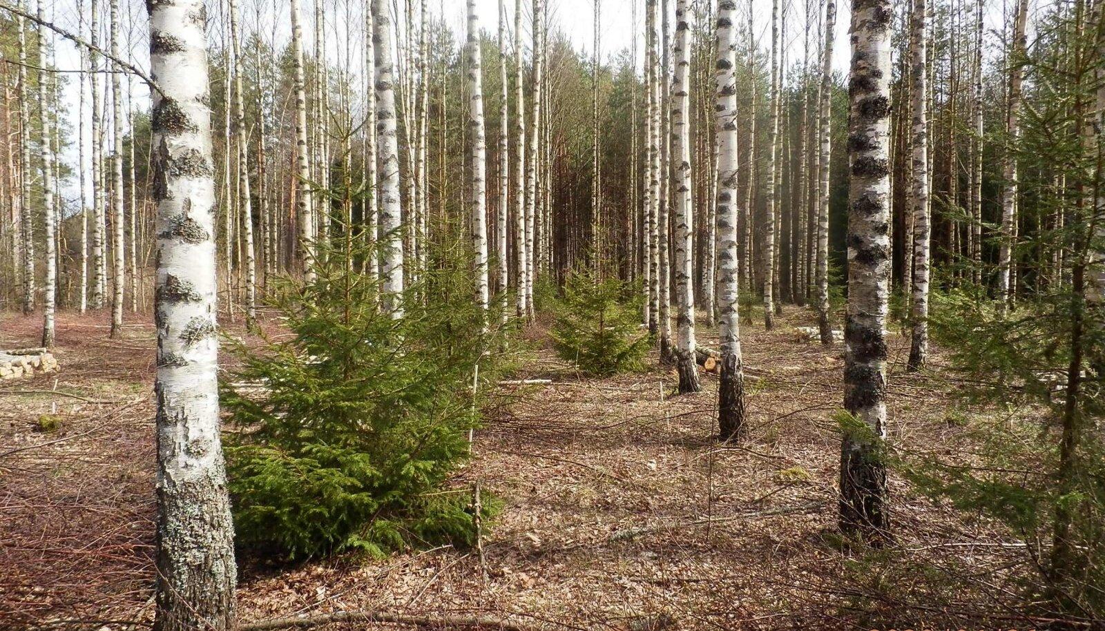 Kullamaa vana metsamehe Lembitu Tverdjanski istutatud ja hooldatud kaasik on paarkümmend aastat vana. Aga isegi õppinud metsamehed, kes sinna satuvad, pakuvad kaasiku vanuseks vähemalt 30 aastat.
