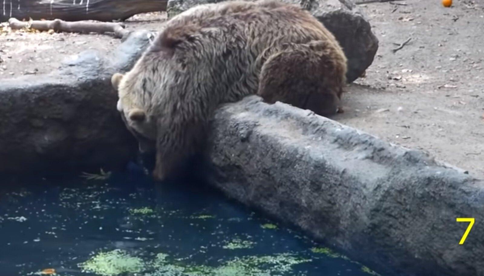 Karu aitab linnul basseinist pääseda