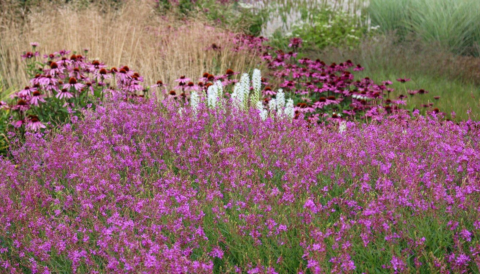 LÖÖ MASSIGA. Peenrasse tasuks valida pigem vähem liike, kuid ühest liigist see-eest rohkem taimi. Suuremad taimegrupid pääsevadparemini esile ja lõpptulemus jääb suurejoonelisem.