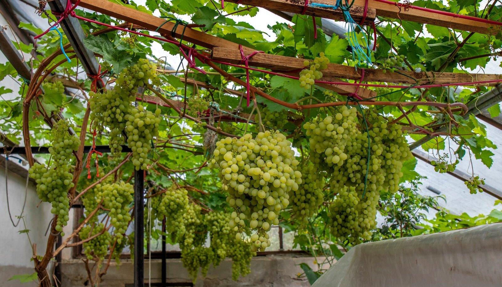 Sobivas kohas kasvav ning õigesti hooldatud viinapuu võib anda suurt saaki. Seedri puukooolis kasvava viinapuu kobarad kaaluvad kuni 2,4 kg.