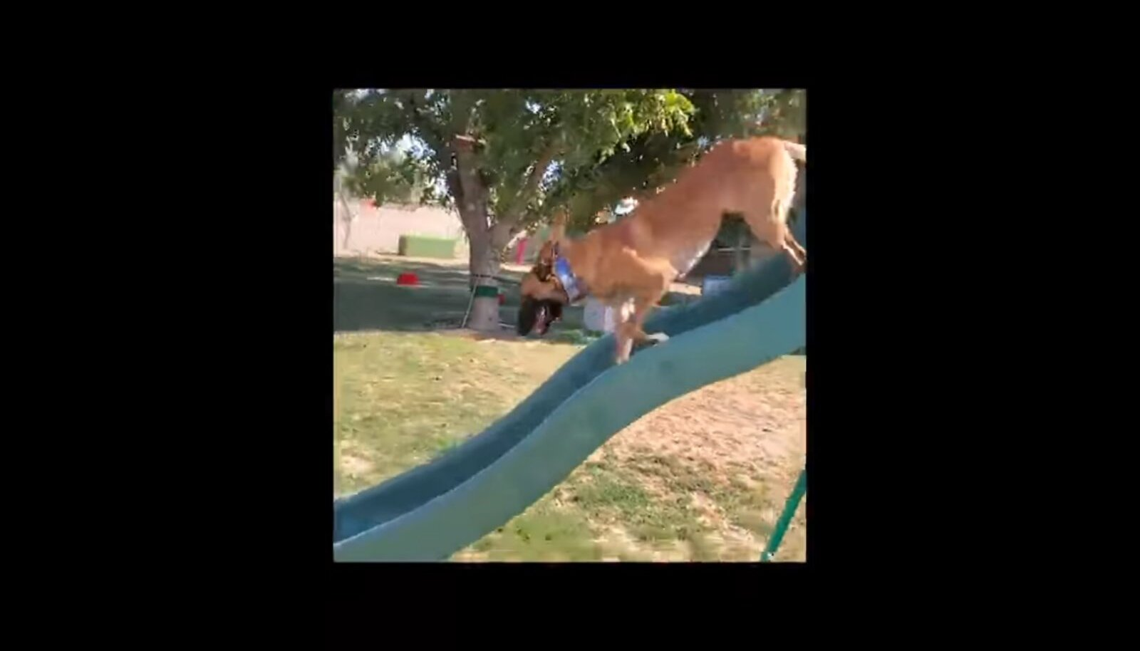 Koer läbimas takistusrada