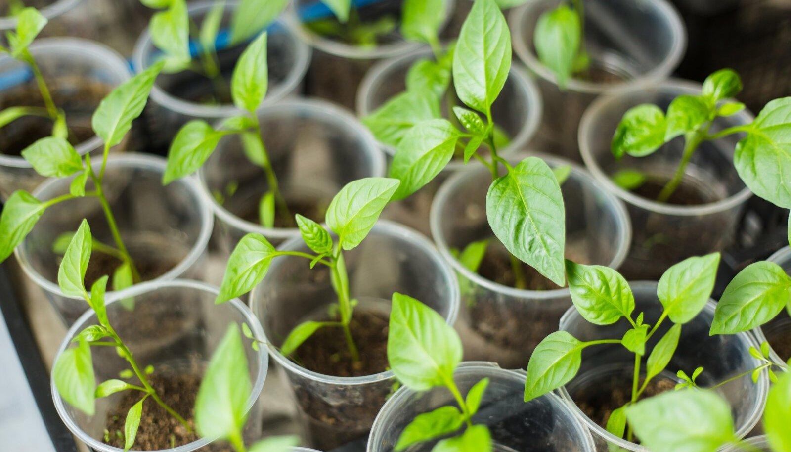 Läbipaistvad joogitopsid sobivad taimede pikeerimiseks.