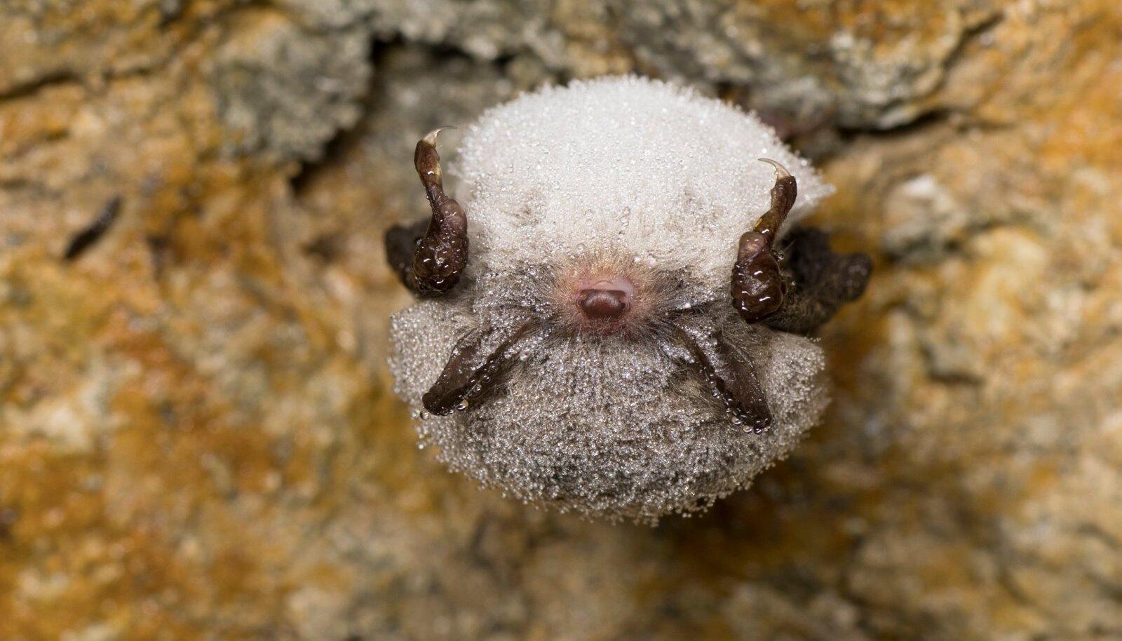 Veelendlane talvitub niisketes paikades. Tema kehale kogunenud niiskus hoiab nahkhiirt veepuuduse eest.