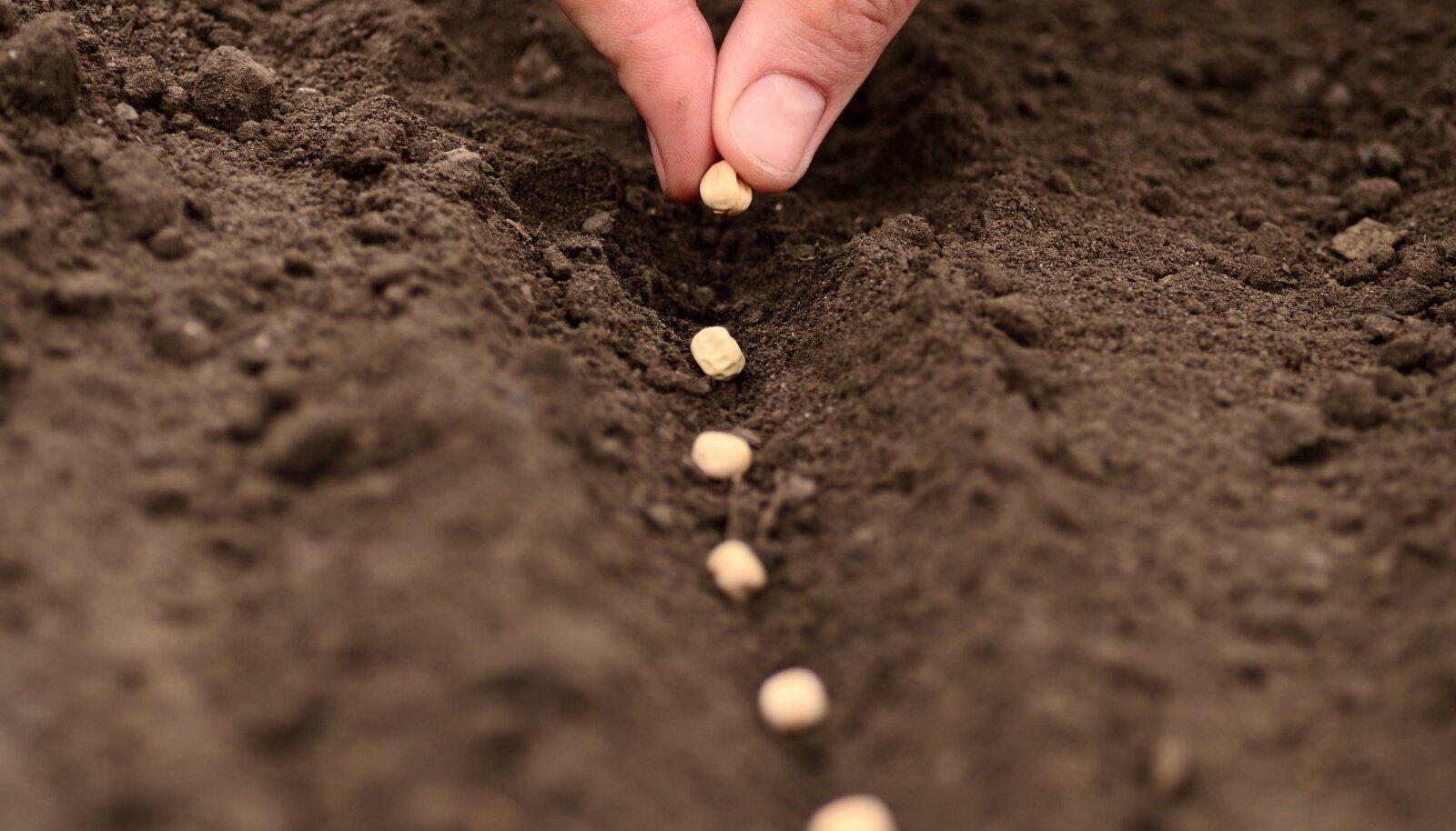 Külvake seemned 10 cm sügavusse külvivakku.