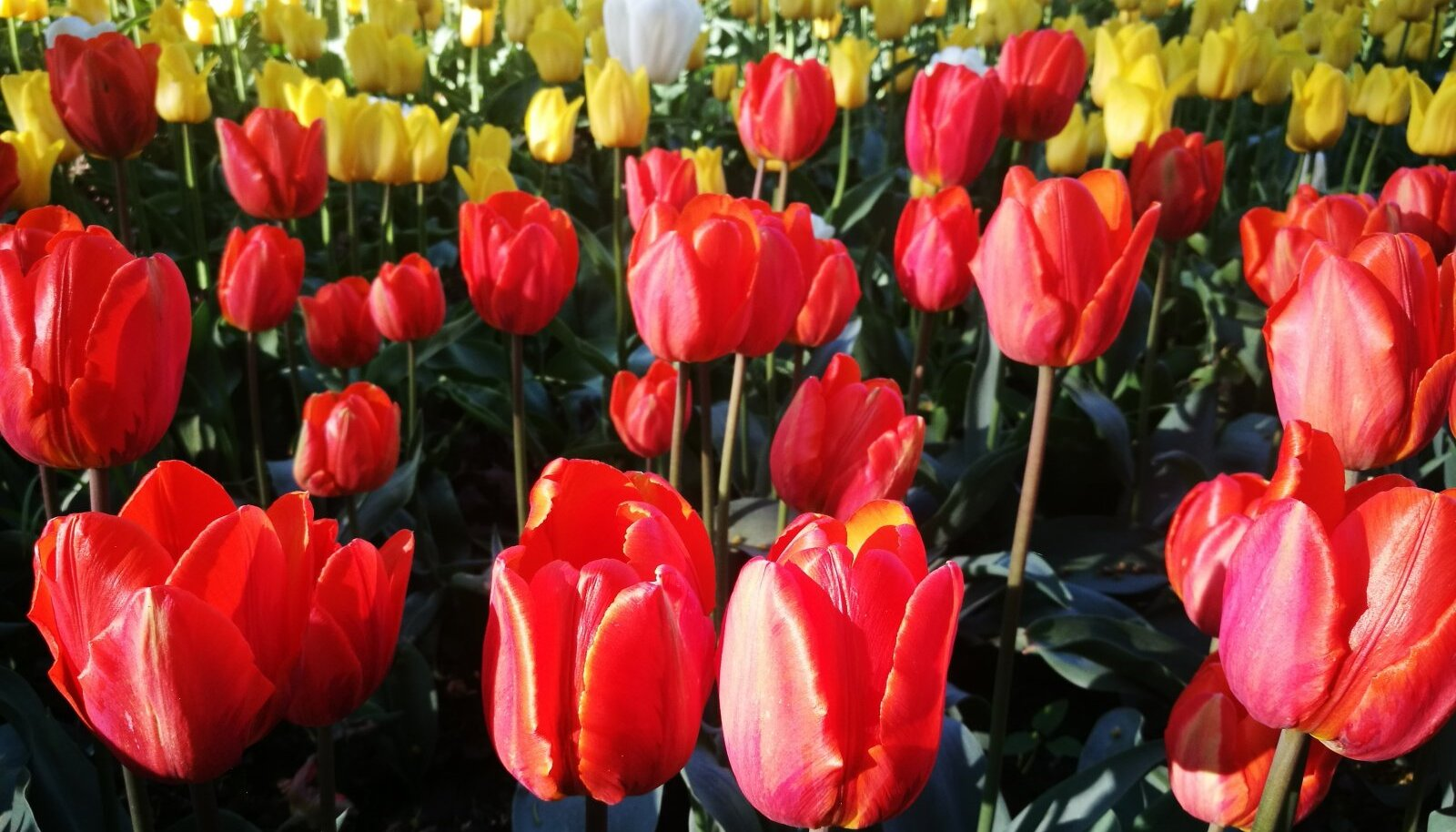 Kirna mõisas õitseb sadu tuhandeid tulpe.