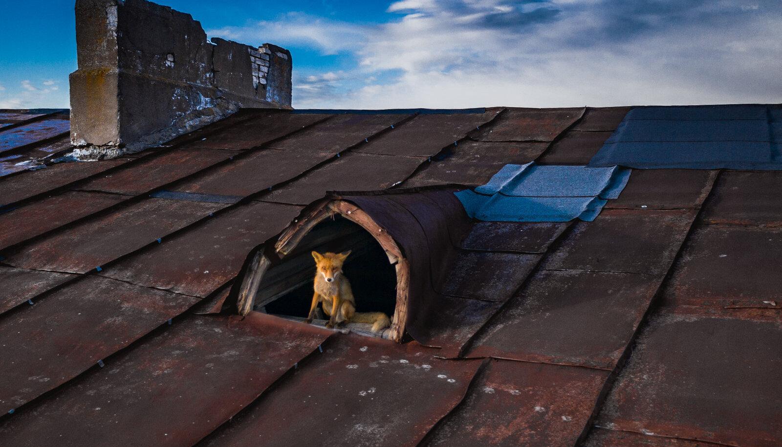 """""""21. sajandi rebane elab ühes Tallinna kallimas rajoonis katusekorteris"""""""