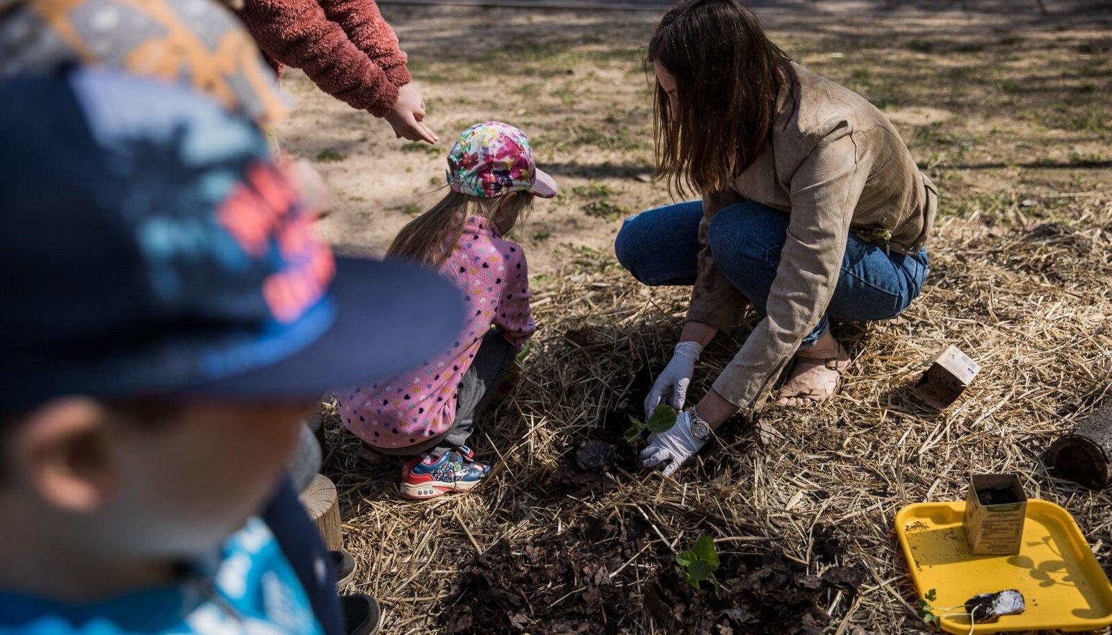 Tartu Maarjamõisa lasteaia õppealajuhataja Signe Leola-Peemoti eestvõttel said taimed permapeenrasse.
