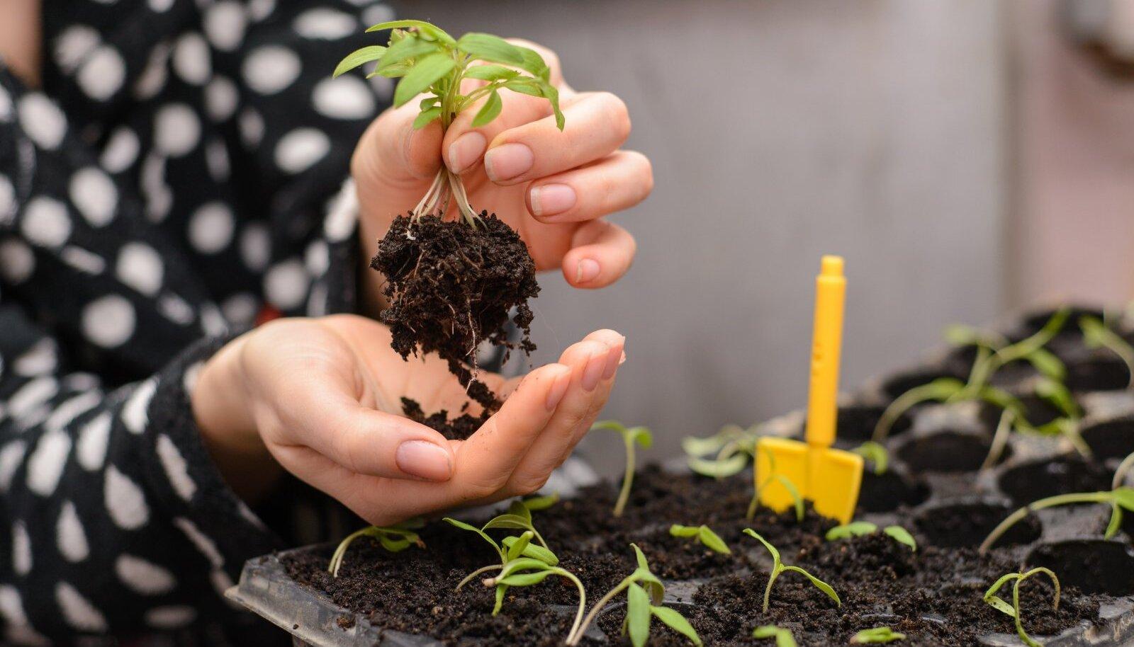 Tomatitaimi võib sügavamale mulda istutada mitu korda.