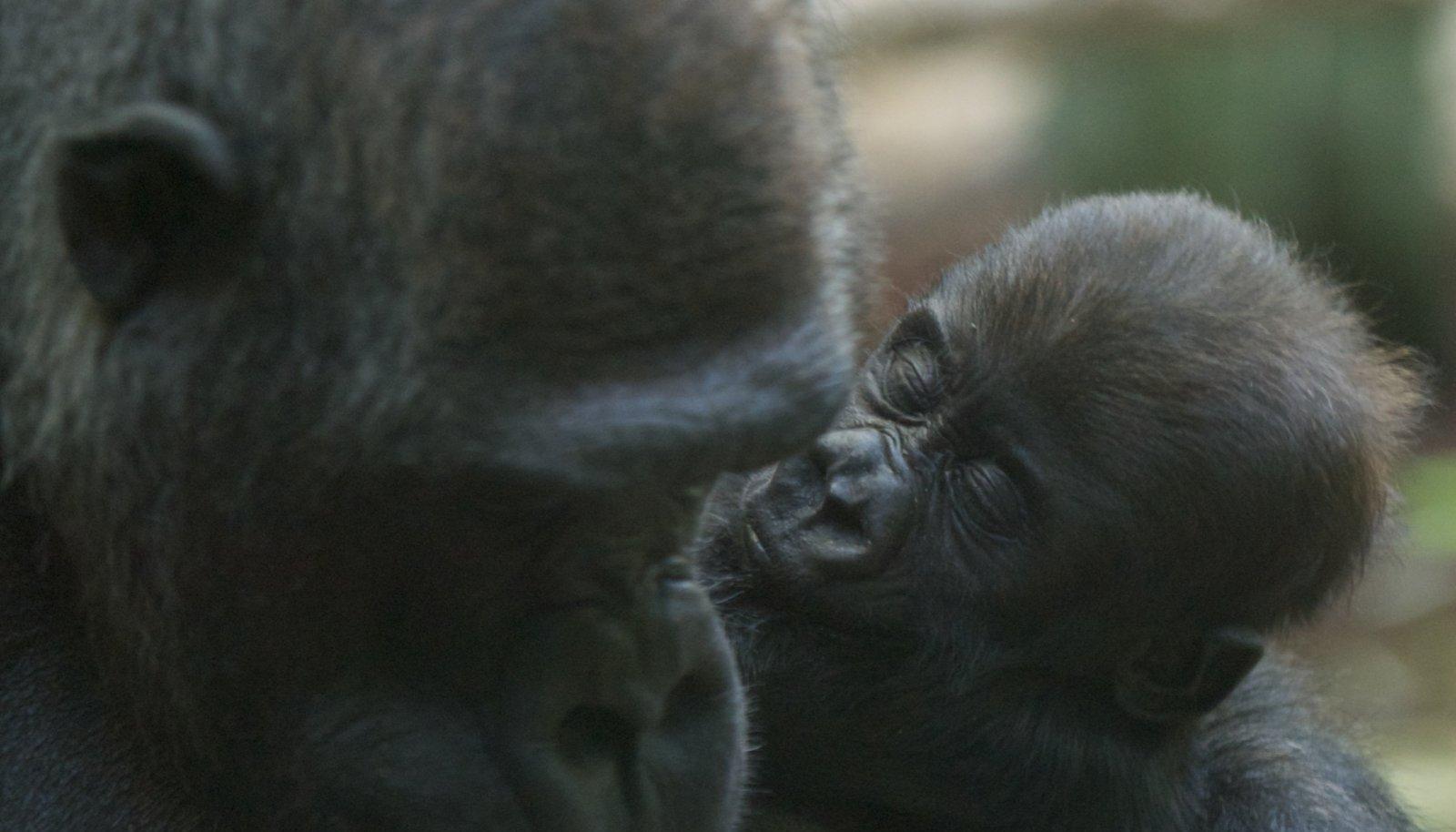 Gorillad loomaaias