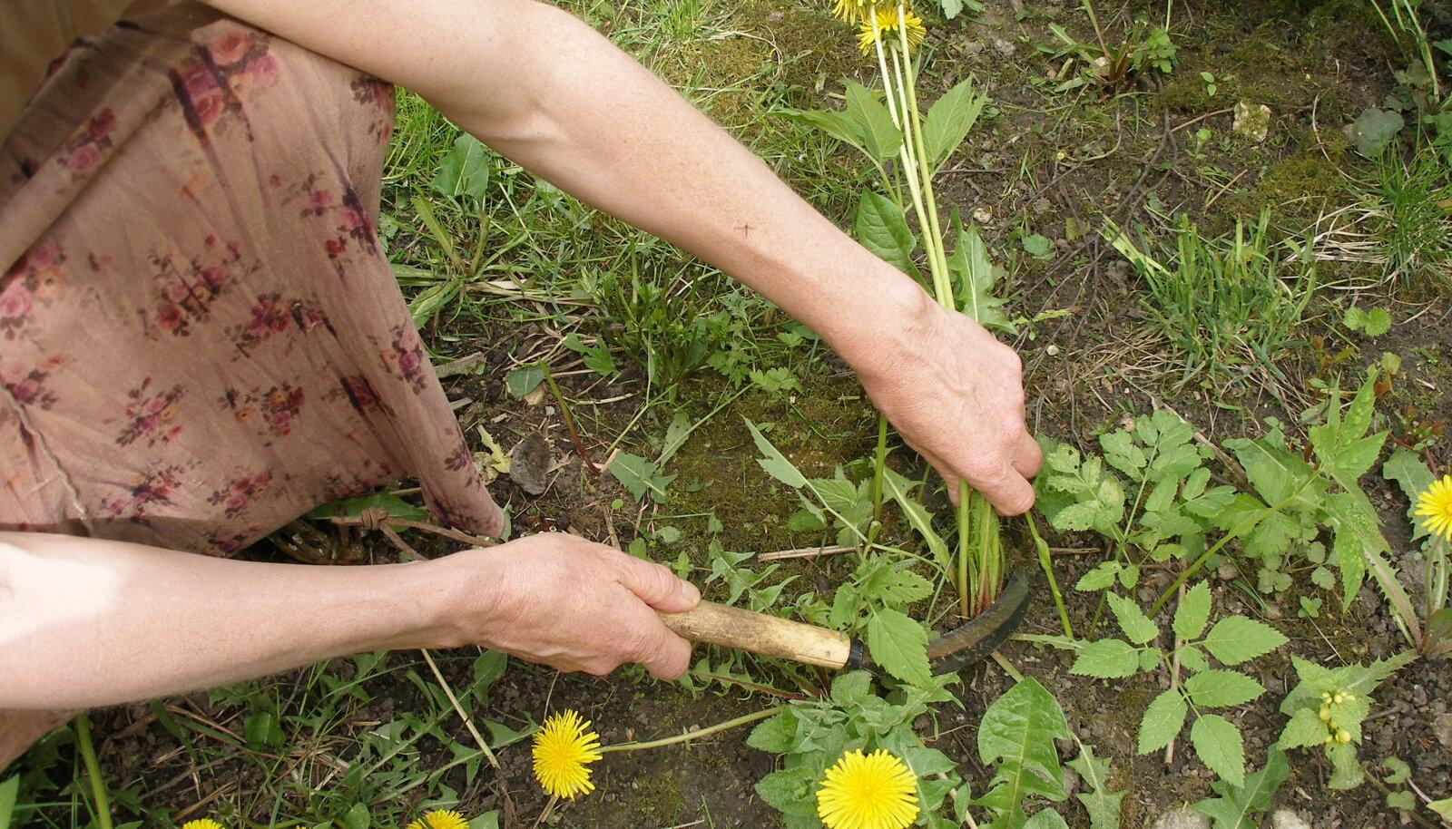 Klaudia Van Gooli lemmiktööriist ja üks põhilisi tegevusi aias: lõika ja multši!