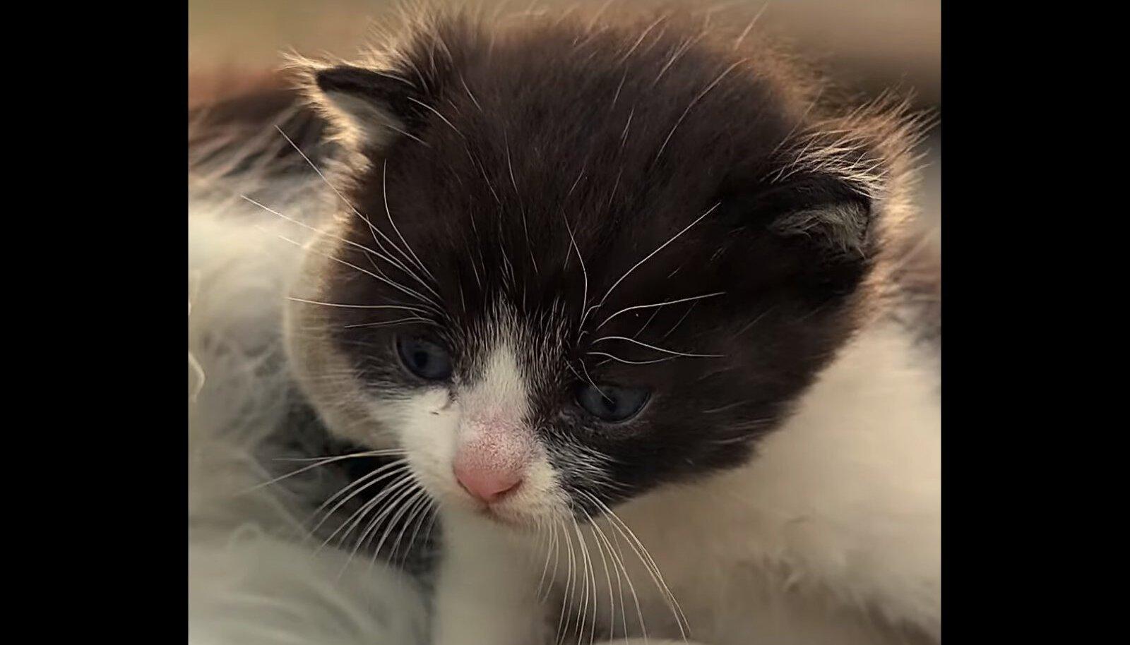 Kanalisatsiooni kukkunud kassipoeg