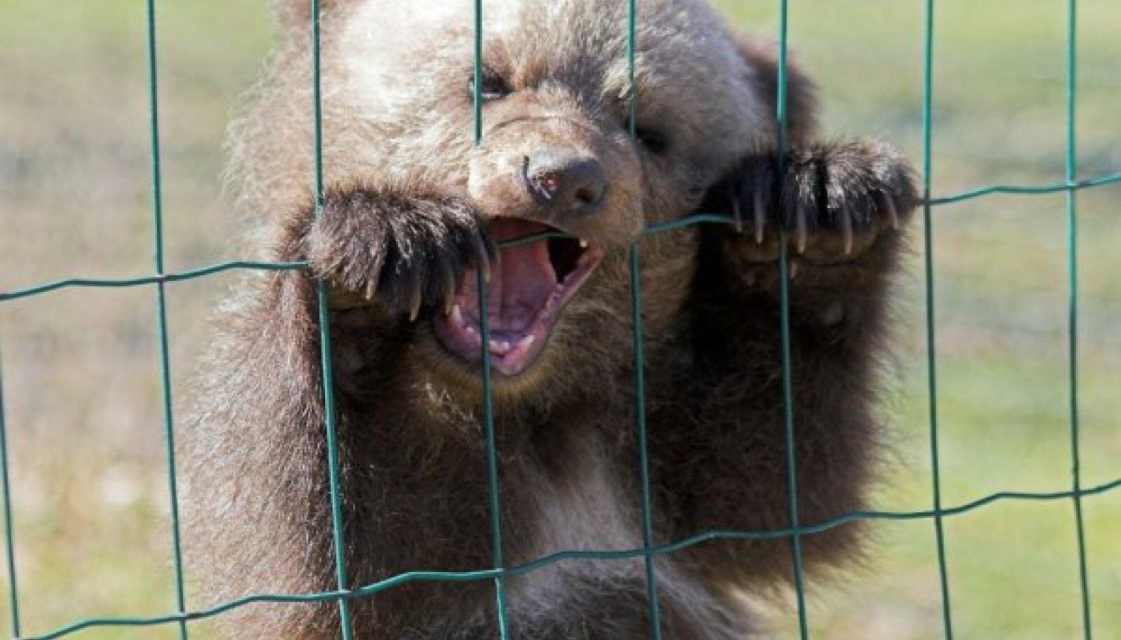 Uuring selgitas, et Eesti karupoeg Päntu on oma geenide poolest väga sarnane Põhja-Euraasia karudega. Võimalik,  et tema esivanemad elasid Aasias.