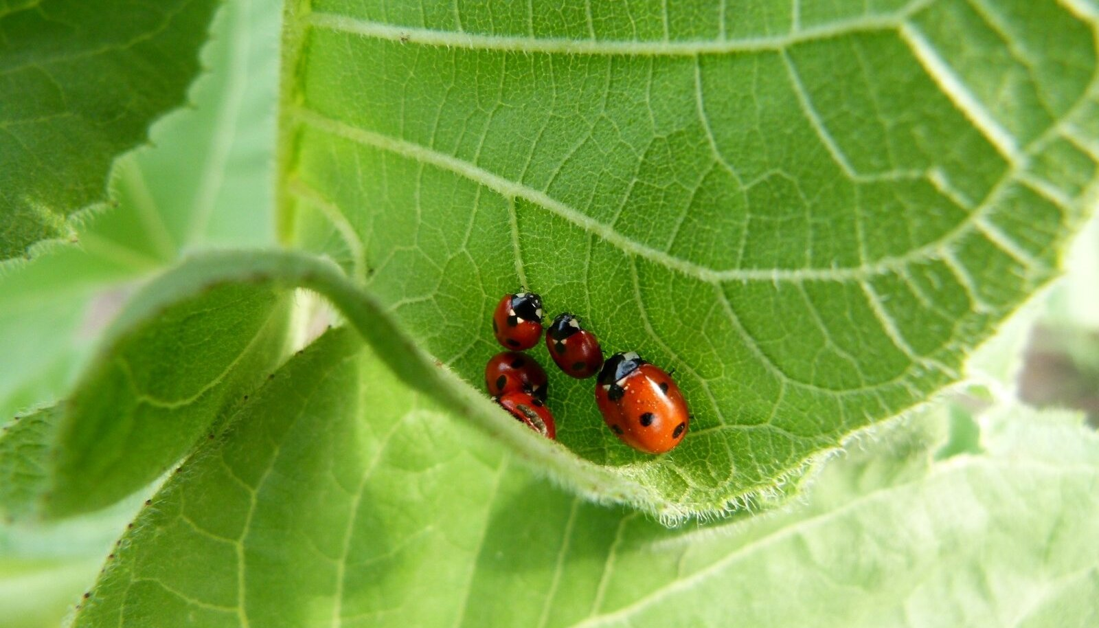Lihtsaim bioloogiline taimekaitse: lepatriinuga lehetäide vastu.