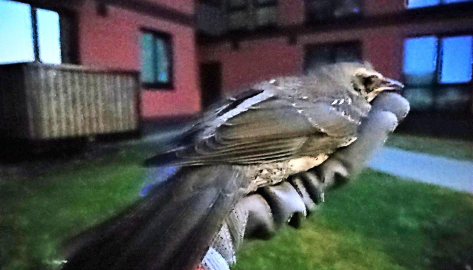 Päästetud lind