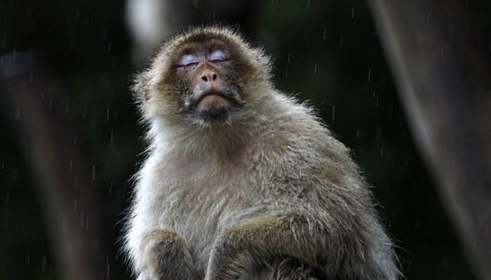 Makaakide perekonda kuuluv ahv