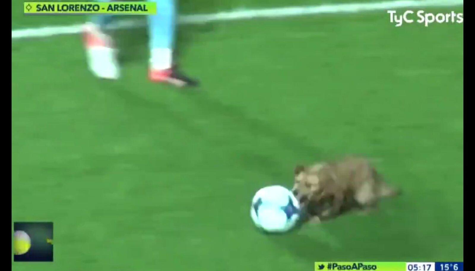 Koer jalgpallimängul