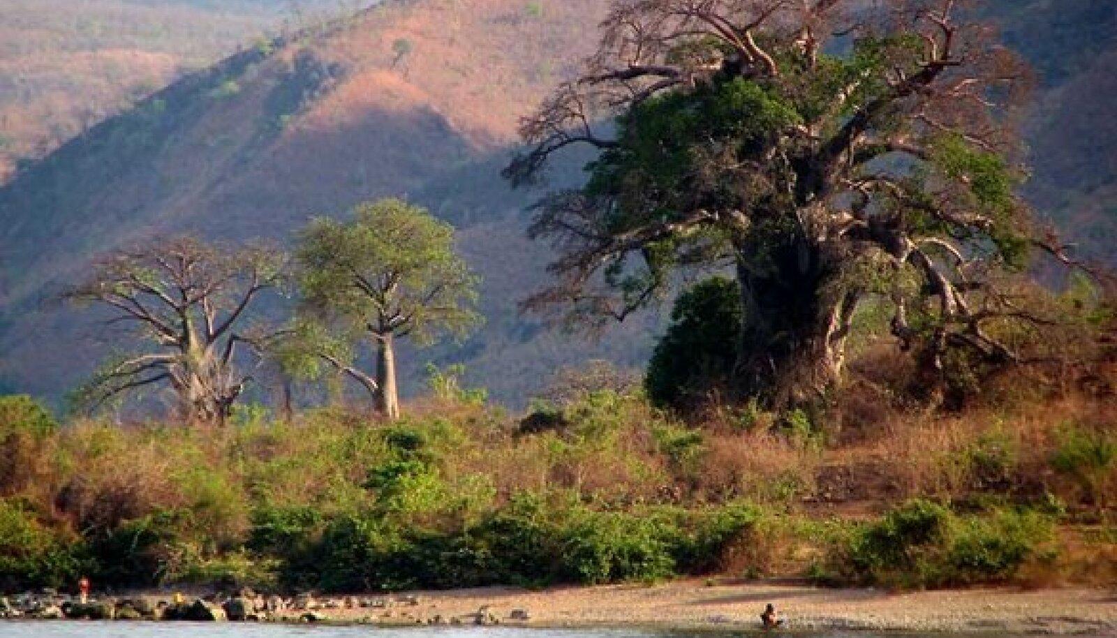 AHVIDE LEIB: Paar ahvileivapuud Niassa järve kaldal Metangula linnas.