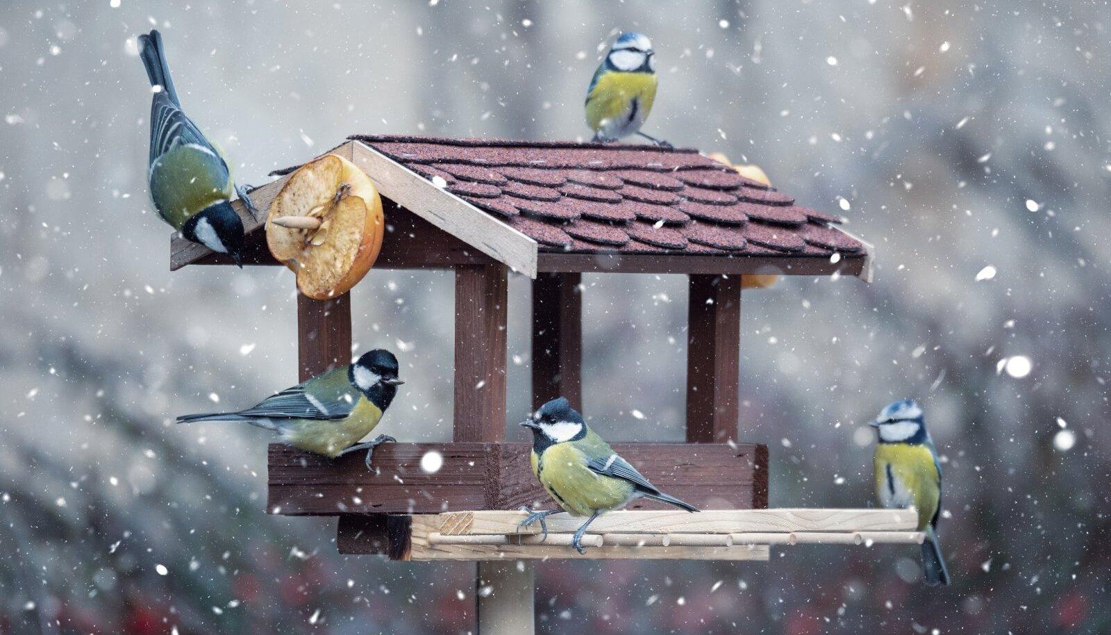 Toidumaja peaks olema kergesti ligipääsetav ja kaetud sademete eest. Heaks lisaks on lindudele alati ka poolik õun.