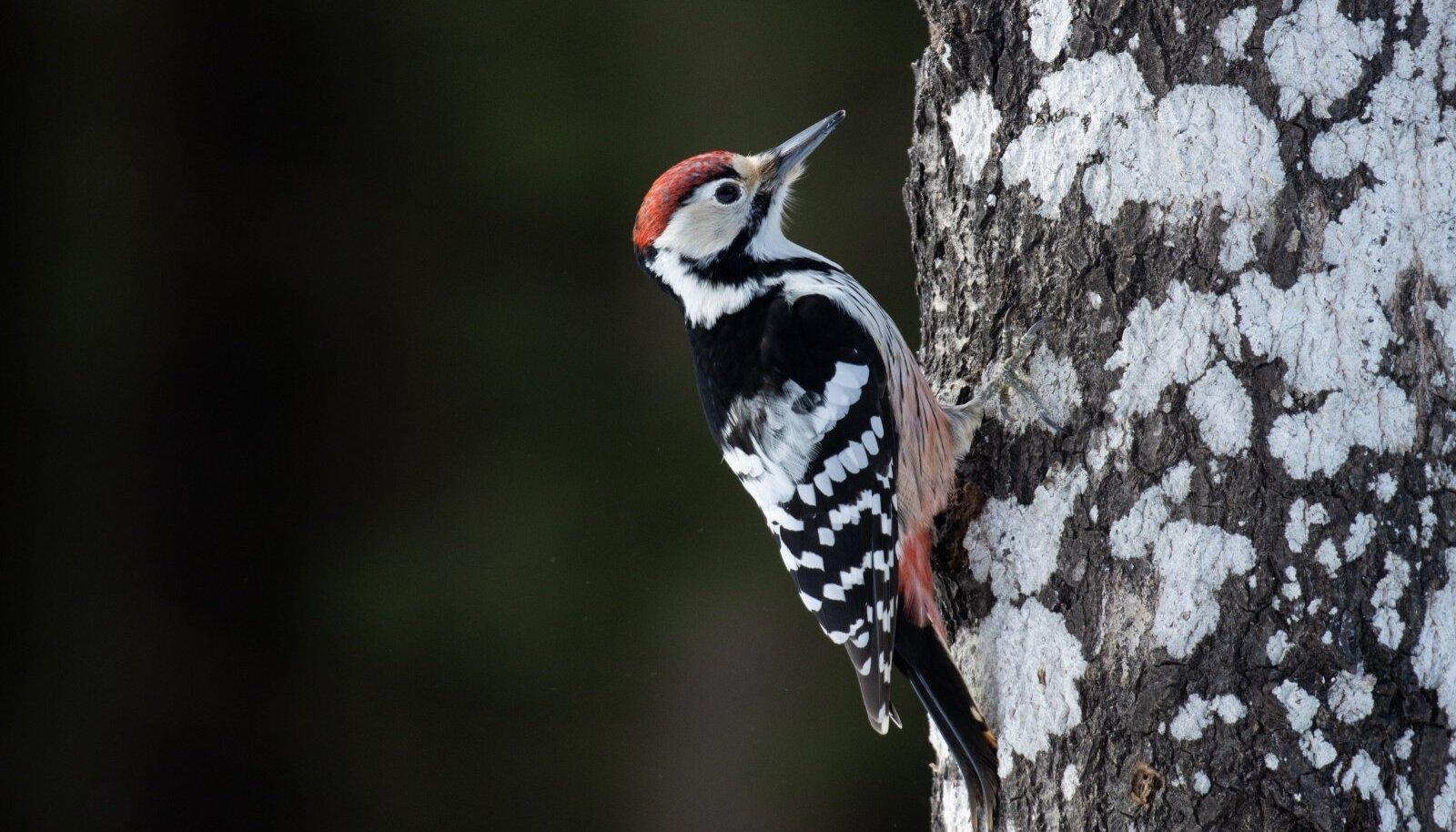 Peamiselt toetuvad valgeselg-kirjurähnid kõdunevas puidus leiduvale. Ta on äratuntav triibulise rinna ning kirju selja poolest.