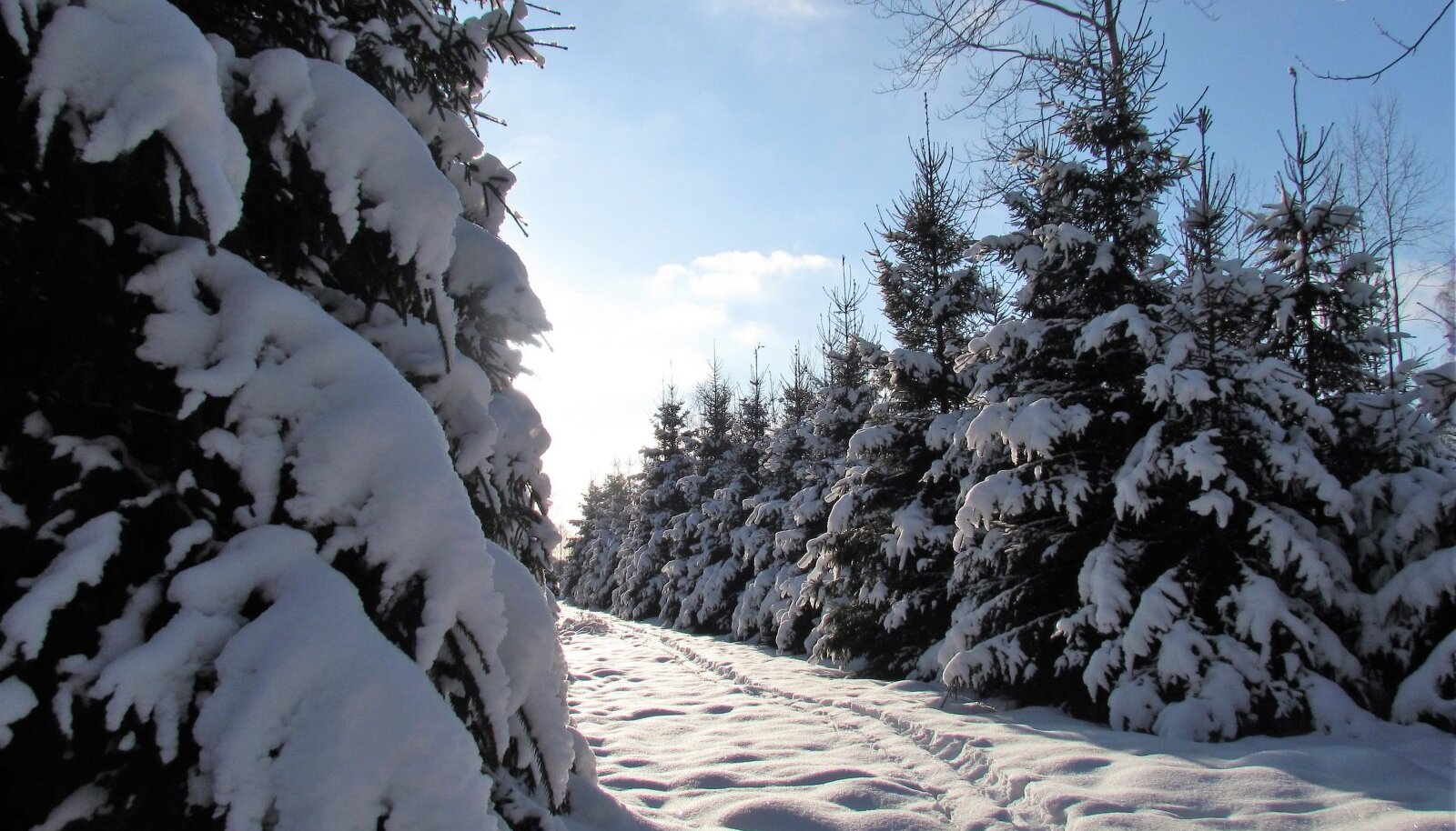 Pildistasin oma kõrgeks ja tihedaks kasvanud kuusenoorendikku ning lumisel talvepäeval leiab lisaks metslooma omadele sealt ka enda tallatud jäljerea.