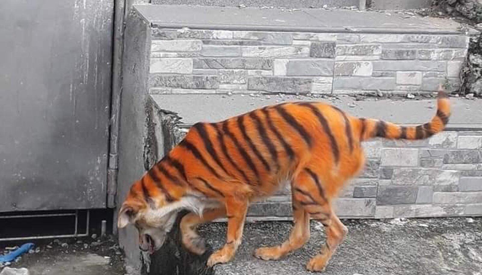 Tiigriks värvitud koer