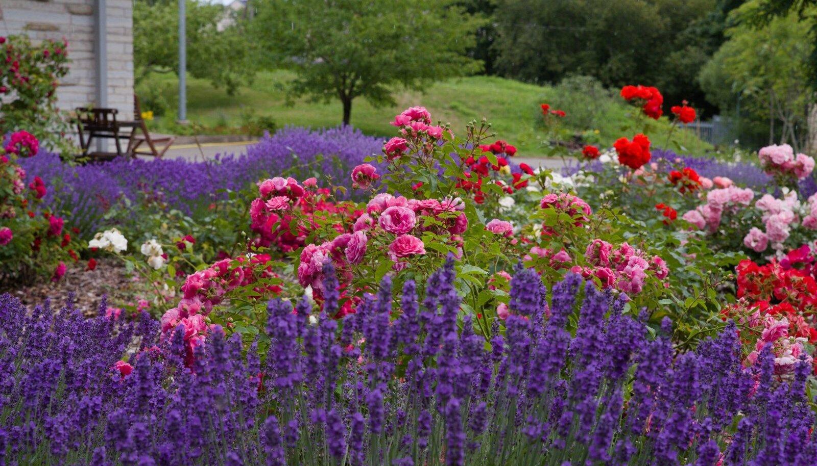Läbi rosaariumi avaneb vaade künklikule viljapuuaiale.