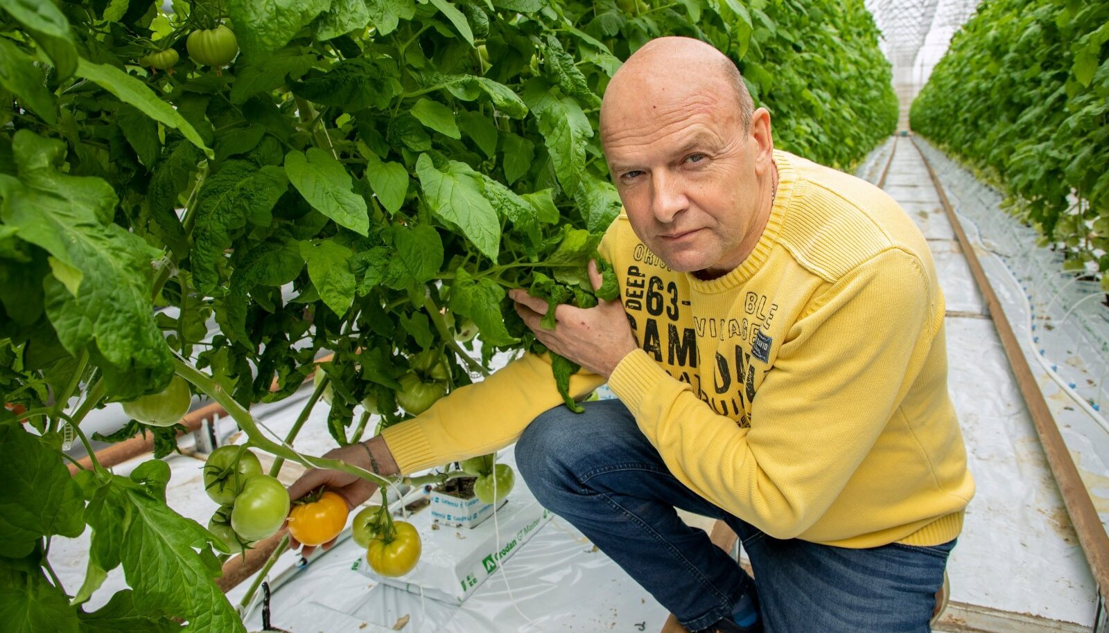 """""""Meie põhitomat ongi kollane, sest seda on väga keeruline kasvatada ja nüüd on esimesed viljad juba valmimas,"""" rõõmustab Võiste aiandi omanik Viljar Metsaoru Pärnumaalt."""