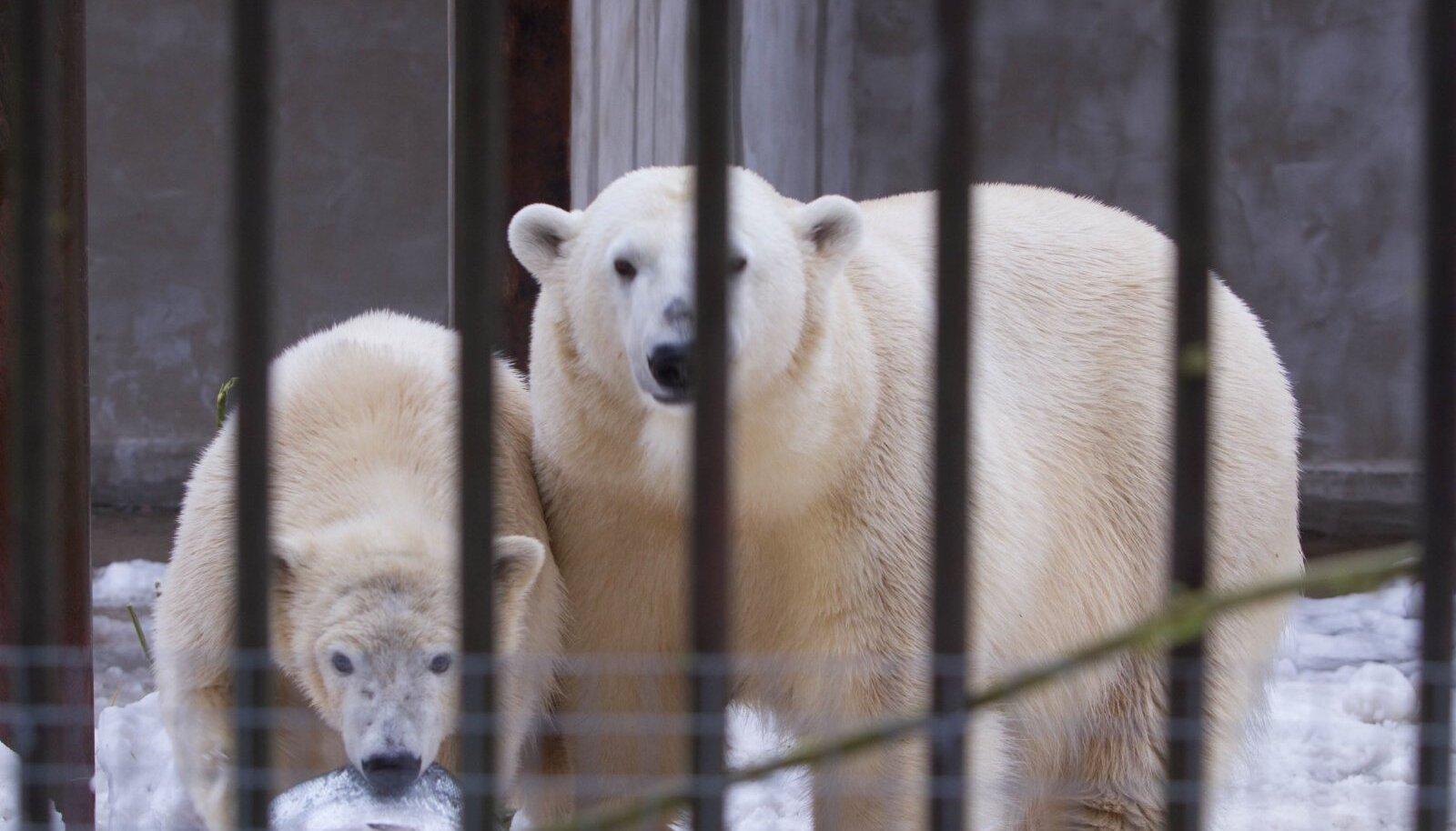 Jääkarud Nora ja Nord