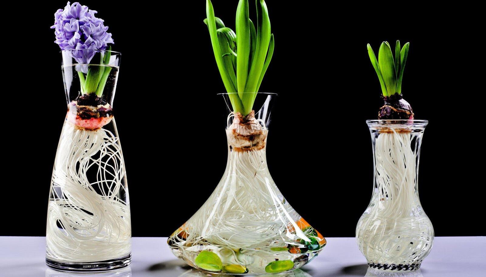 Hüatsint klaasis on lausa omaette vaatamisväärsus ka siis, kui taim veel ei õitse.