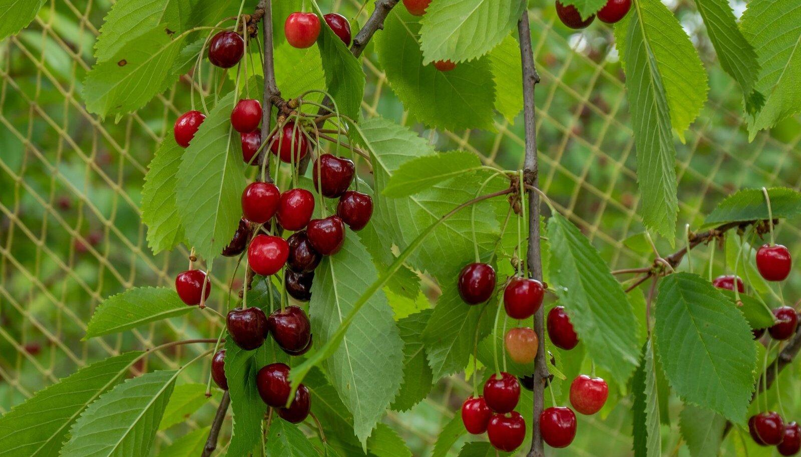 Müügile on jõudnud ka Eesti päritolu kirsid ja murelid.