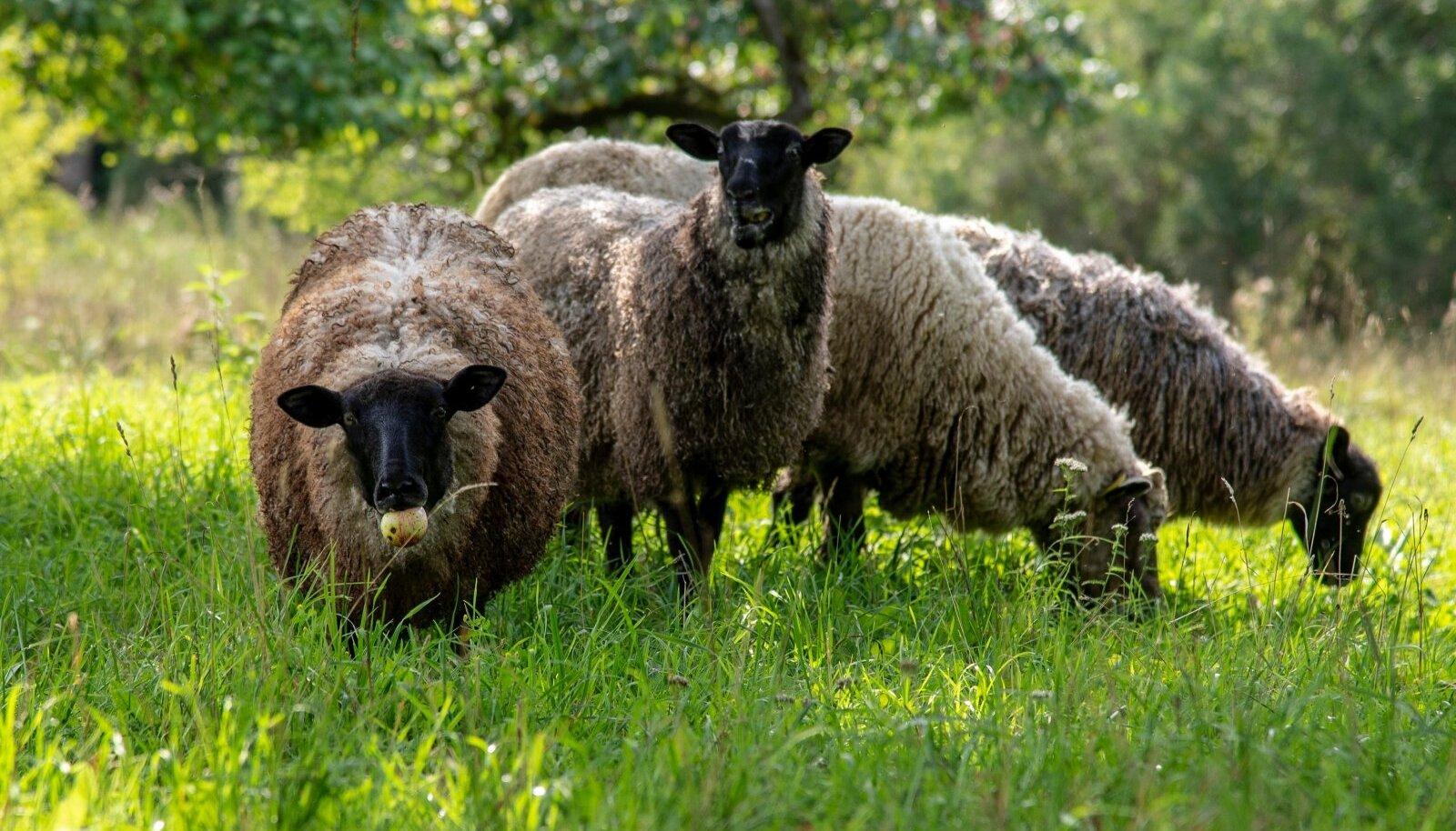 Ristipäeval olid keelatud villasetööd, küll aga käidi võõraste loomade seljast karvu lõikamas. Vaata järele, miks!
