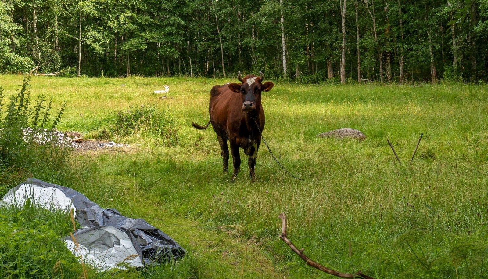 Kujutagem ette olukorda – loomapidaja on rajanud korraliku piimandustalu, lüpsab lehmi kolm korda päevas, aga siis öeldakse talle, et lüpsa üks kord päevas.