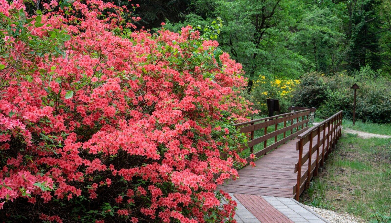 Heitlehised rododendronid võivad kasvada väga suureks.