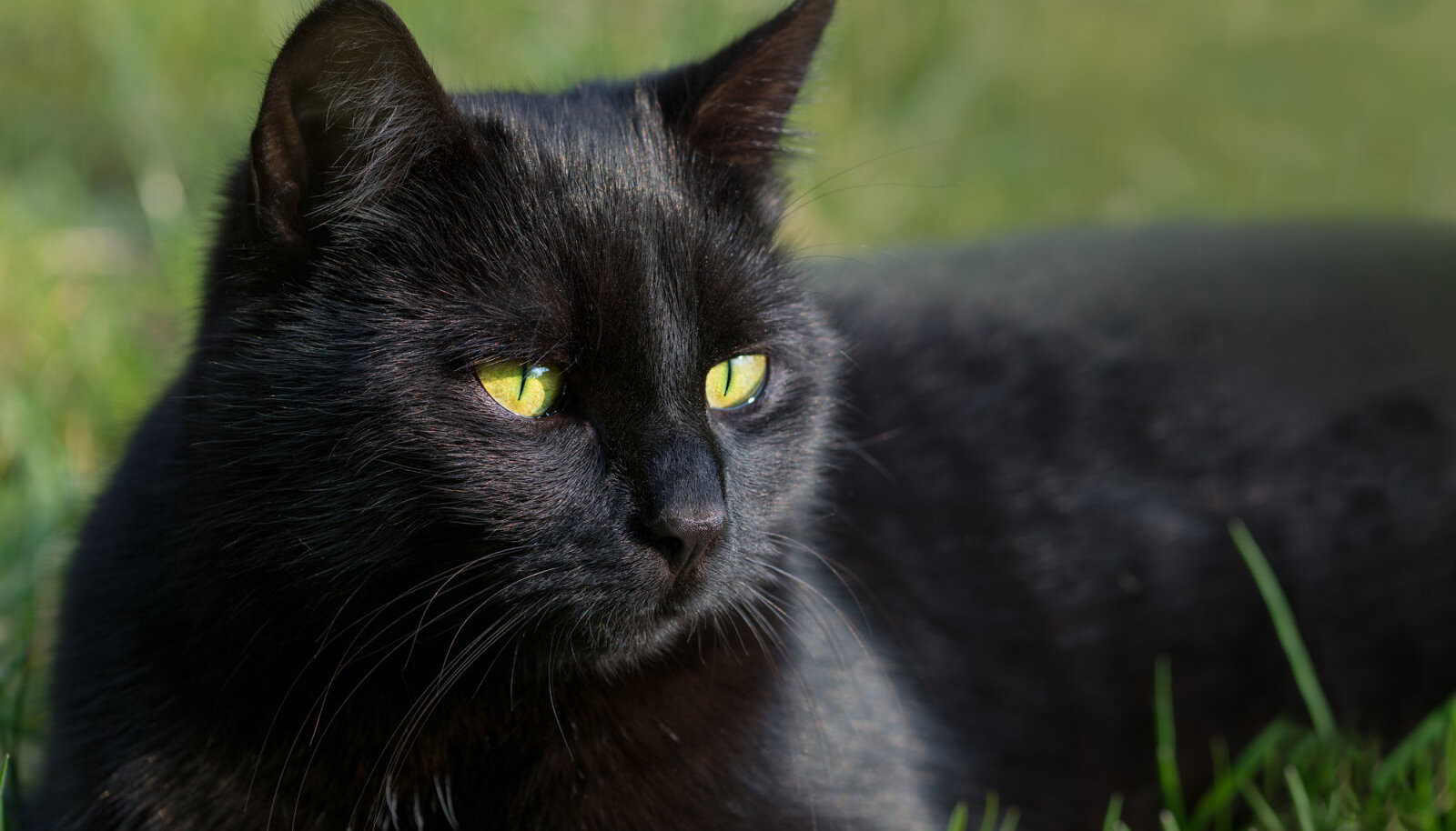 Täna on rahvusvaheline musta kassi päev