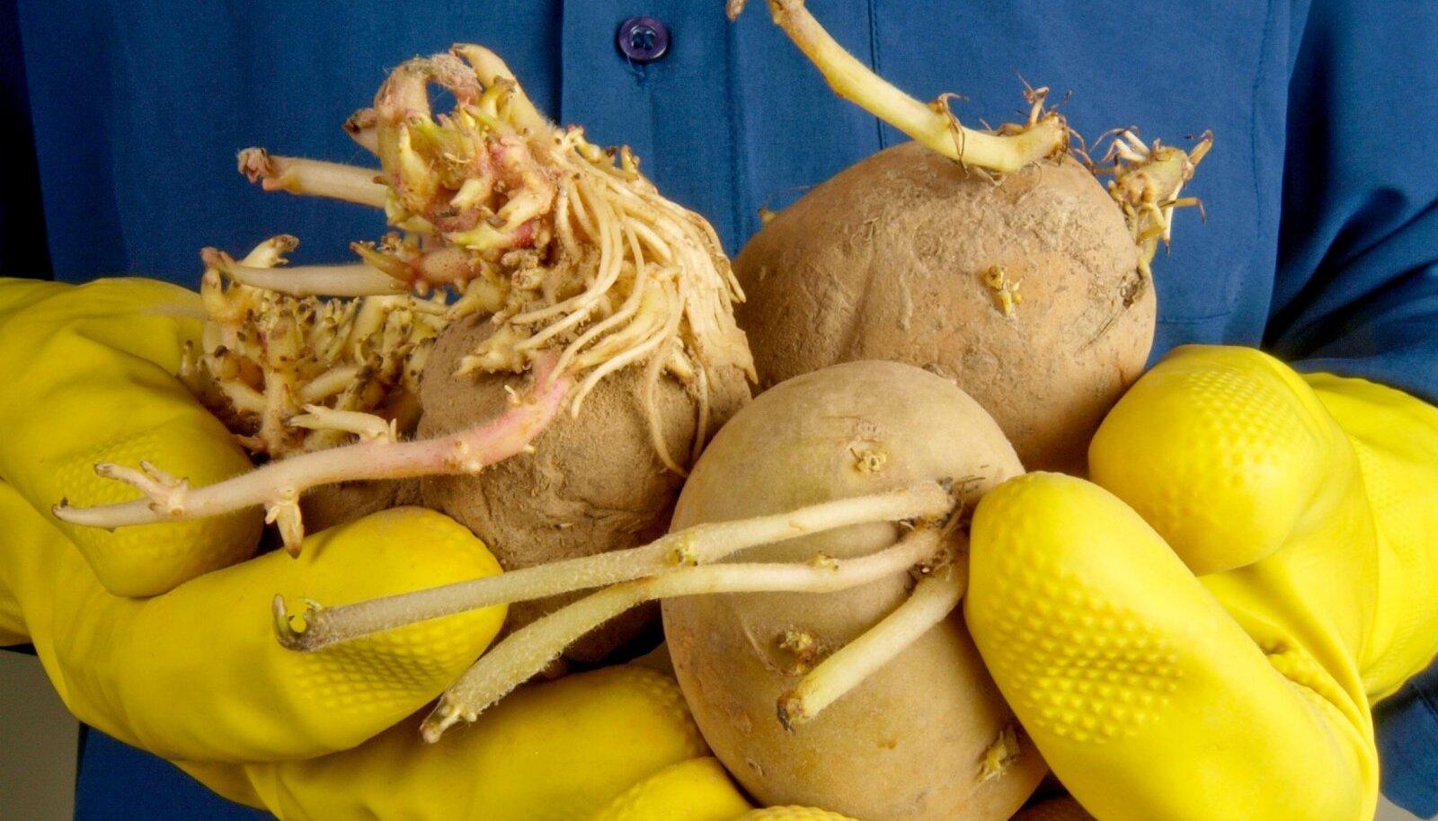 Kas idandid külge kasvatanud kartulit sünnib süüa?