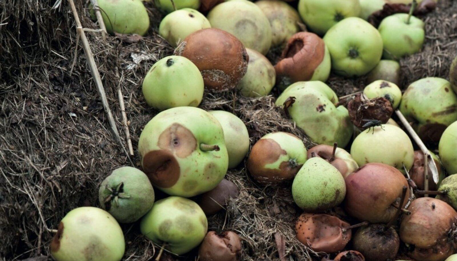 Õunad kompostiks.
