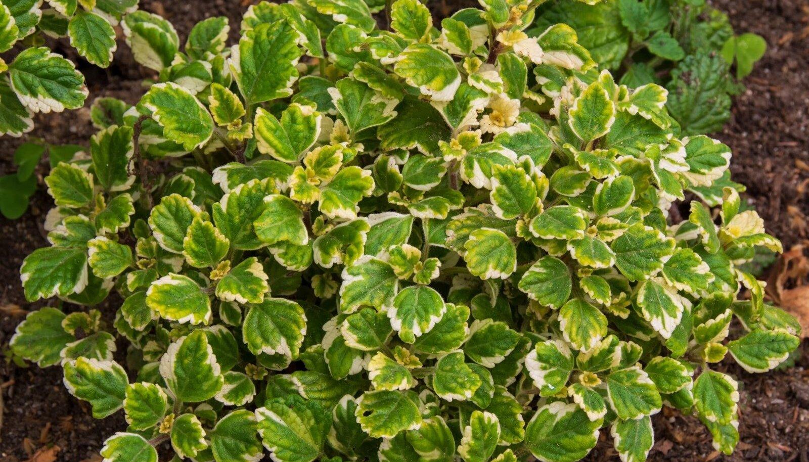Suva ilunõges on väga lopsakas taim, mille dekoratiivsed värvilised lehed köidavad juba kaugelt pilku.