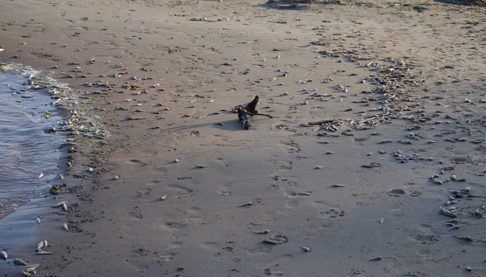 Surnud kalad Kauksi rannas.