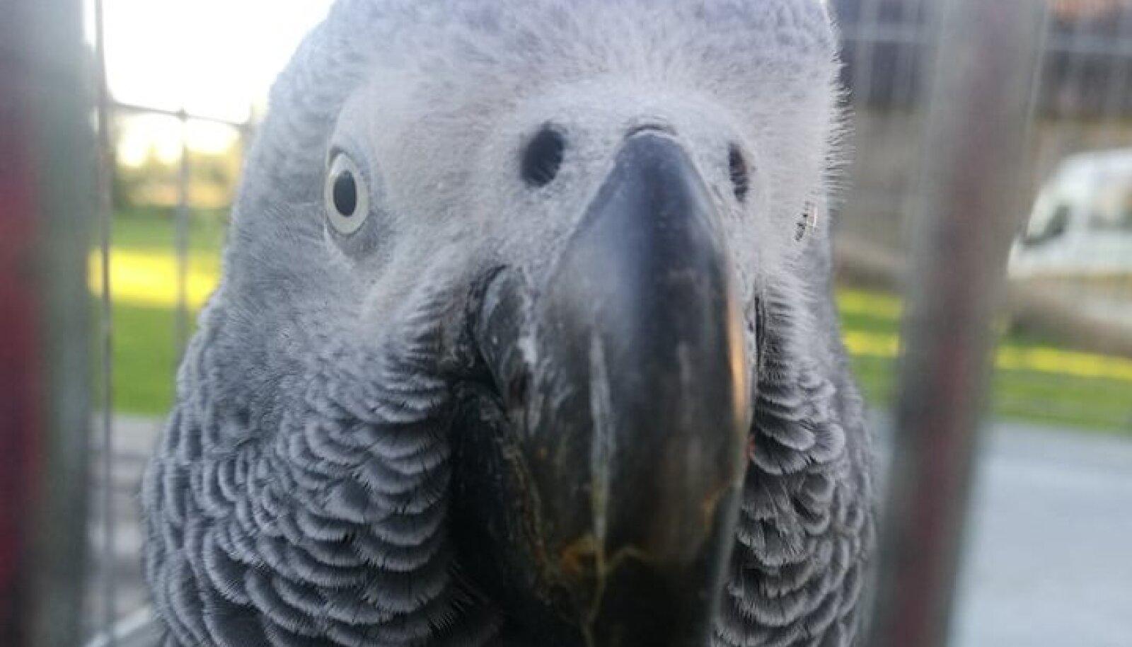 Papagoi Bembi