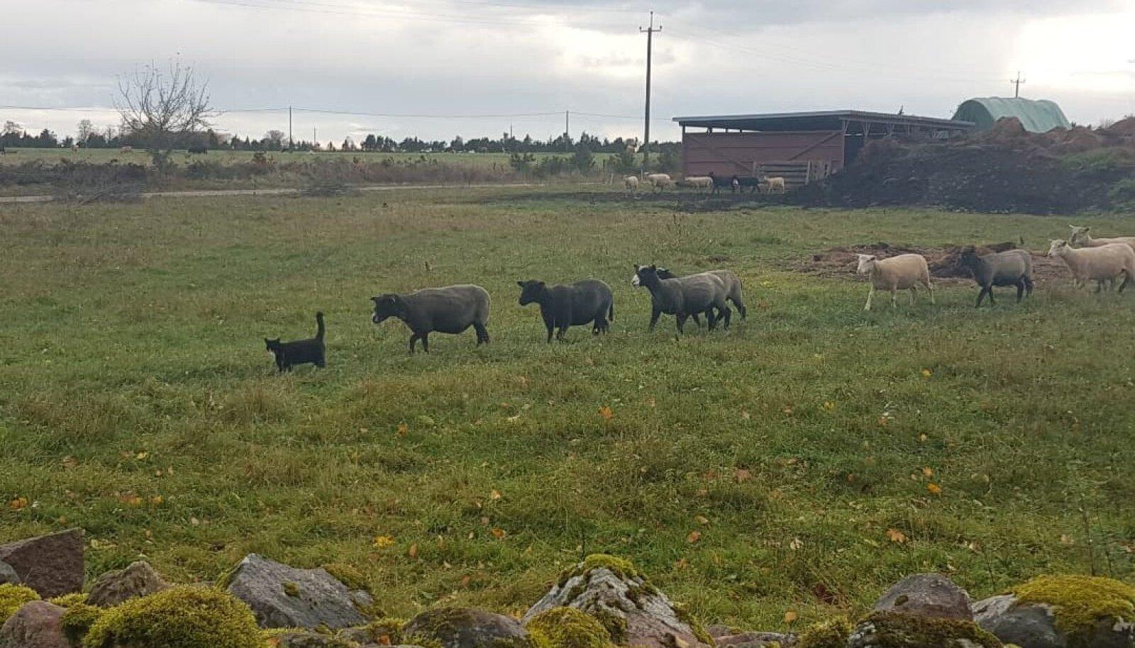 Kass lambakarja eesotsas