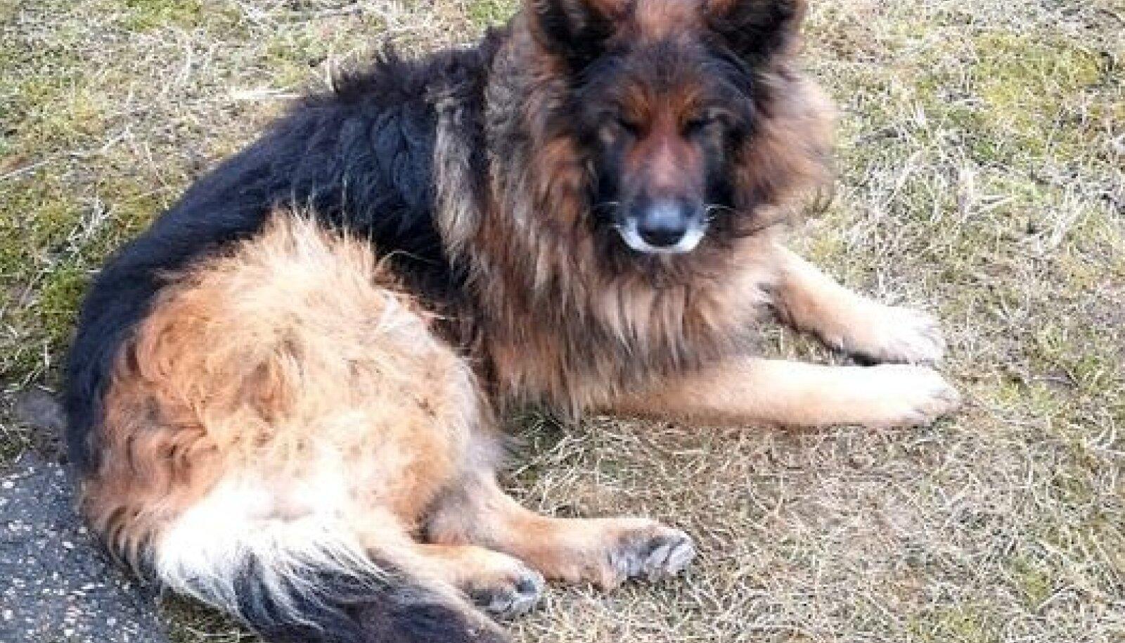 Liigesehaige koer veedab kõik päevad külmal maapinnal lamades