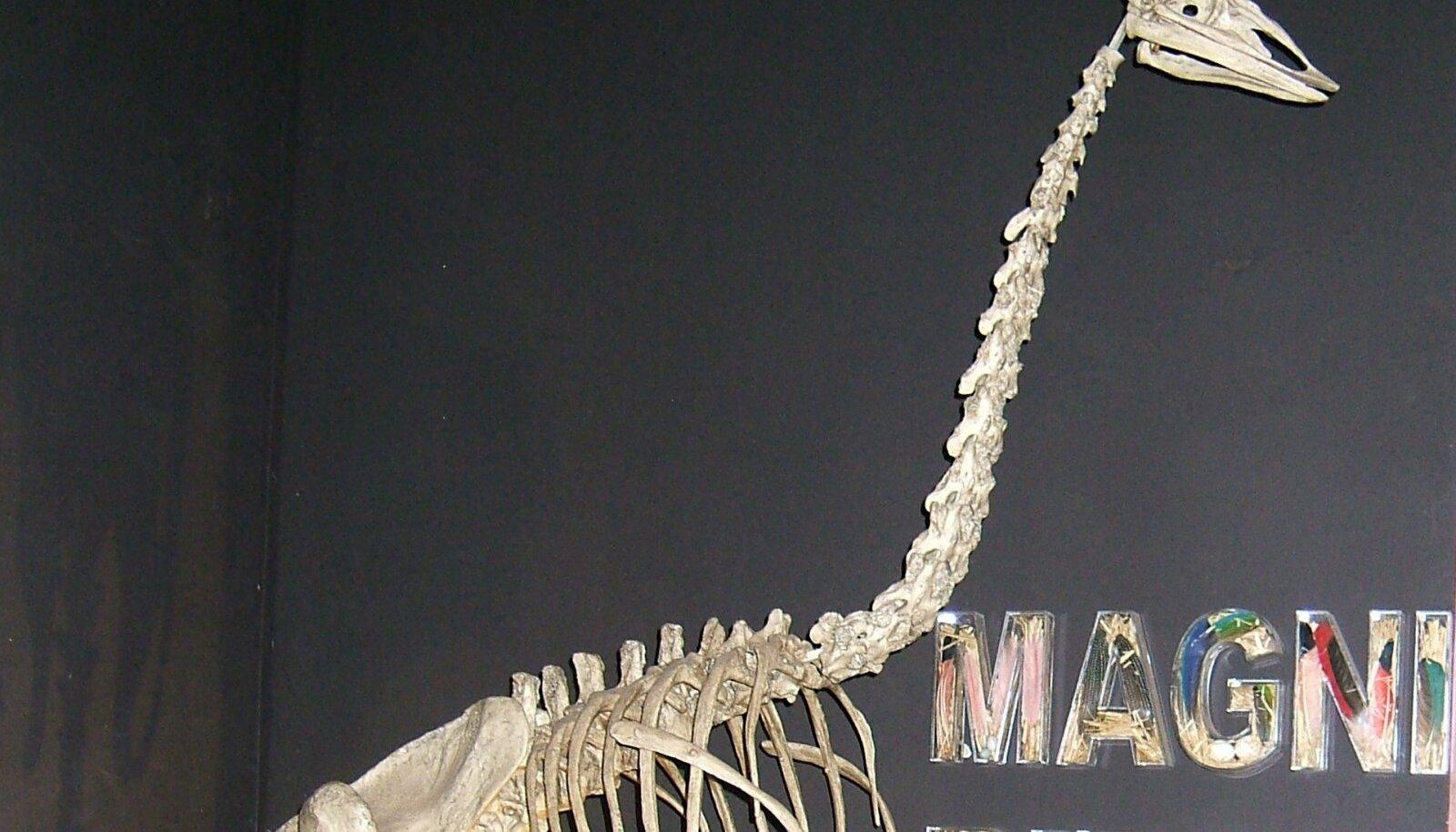Elevantlinnu skelett