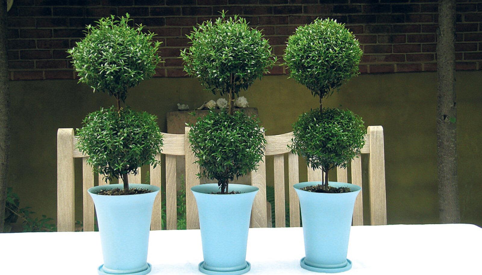 Aeglase kasvu ja peenikeste lehtedega harilik mürt sobib hästi bonsaiks.