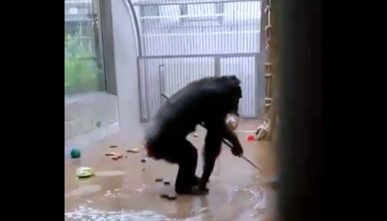 Šimpans tööhoos