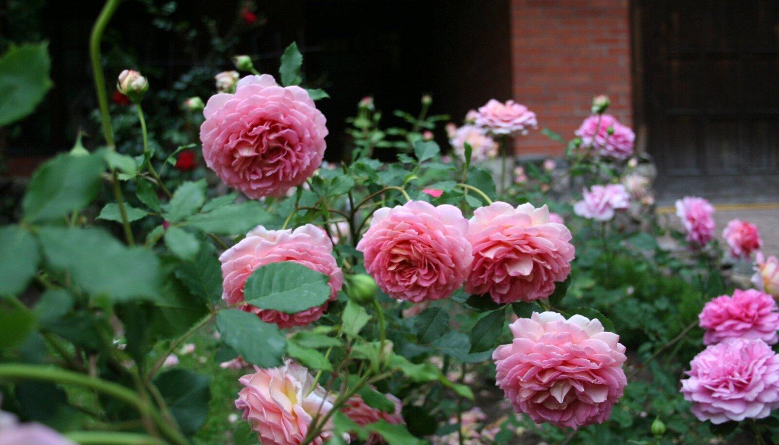 Jubilee Celebration- lõhn on võrdväärne tema võrratu iluga