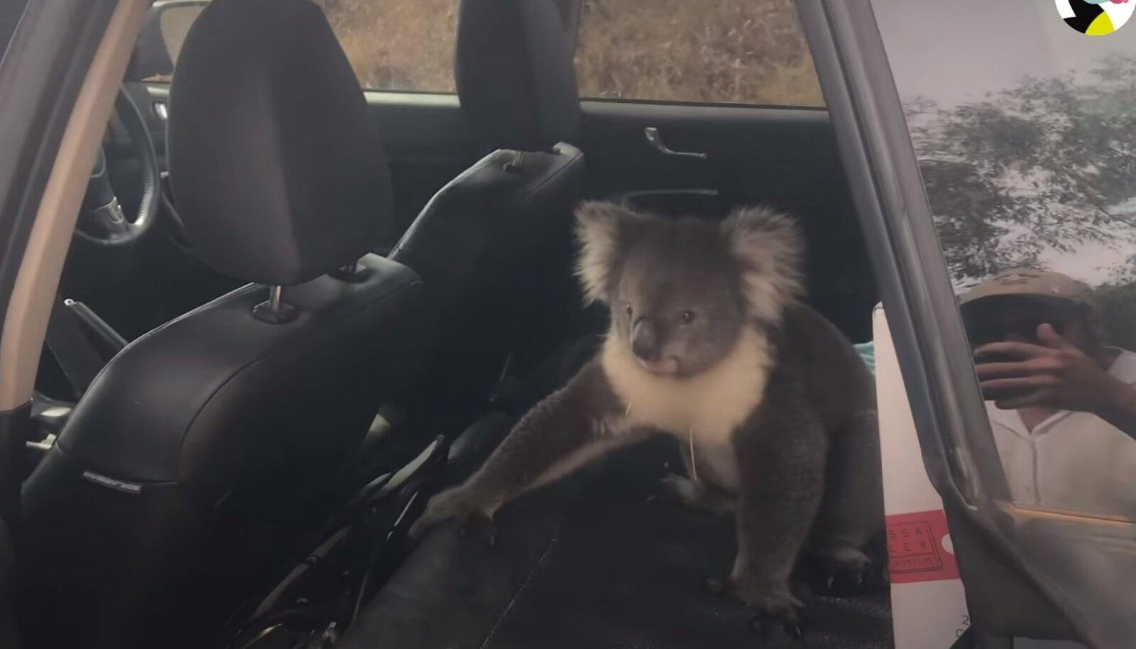Autosse roninud koaala
