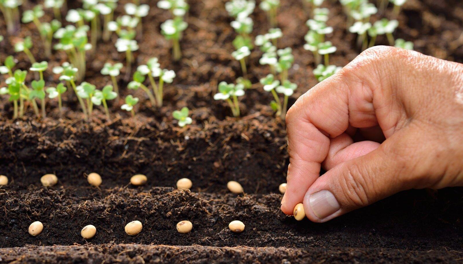 Suuremaid seemneid on soovitatav enne mulda panemist leotada.