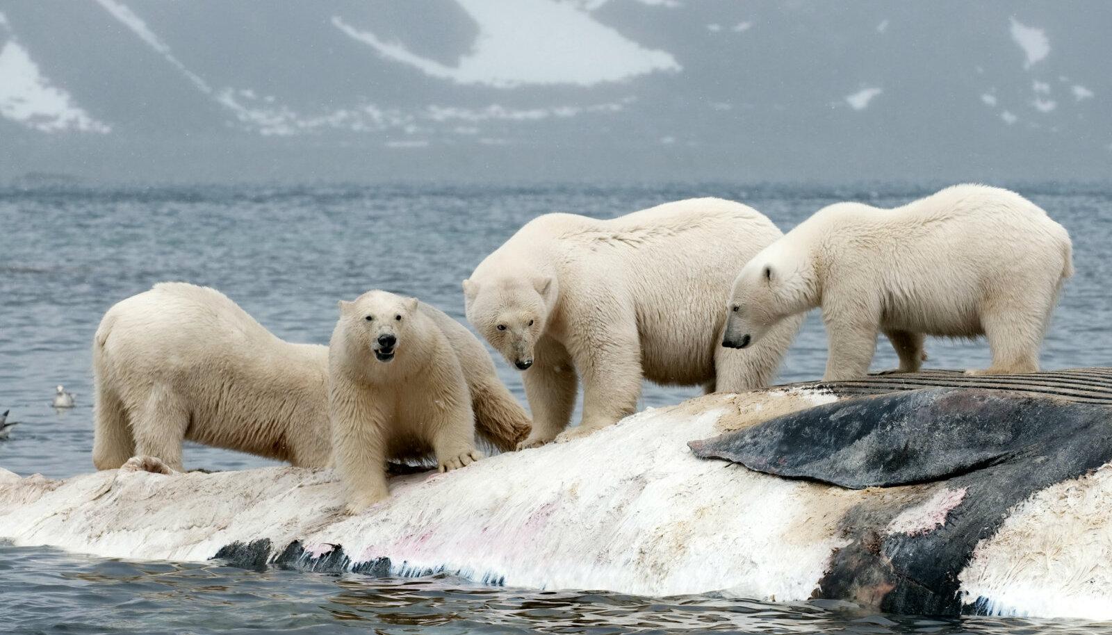 Neli jääkaru seisab Artikas surnud vaalal.