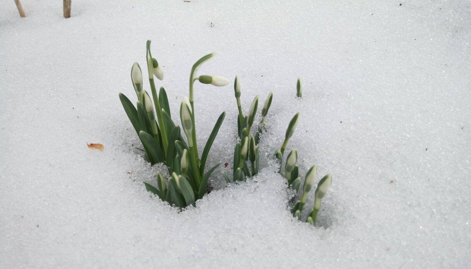 Lumikellukesed on lume alt välja murdnud