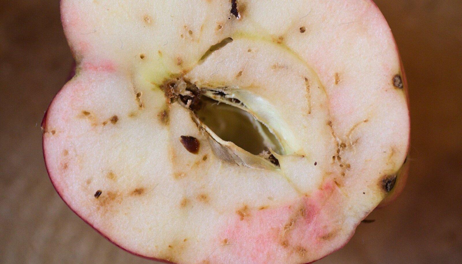 Õunakoi kahjustus